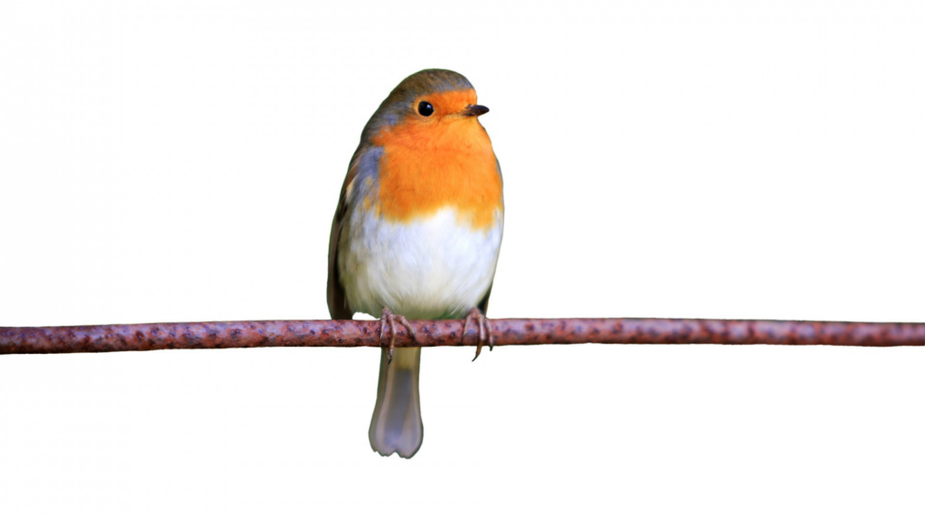 Robin flash card part of free activities for dementia patients